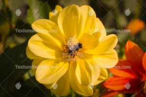 Bee collects pollen on a yellow wild flower
