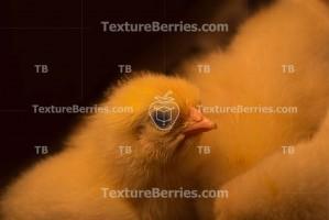 Curiosity newborn yellow chick