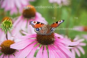 European peacock butterfly in summer garden, Aglais io