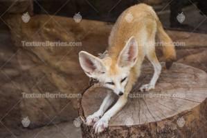 Fennec fox with big ears, Vulpes zerda