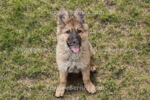 German shepherd puppy dog, sheepdog, friendship