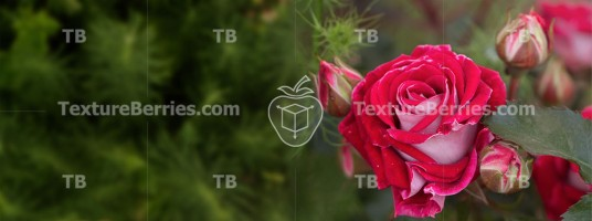 Green garden with beautiful red rose, postcard