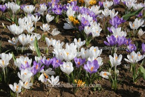 Group of purple and white crocuses in spring time