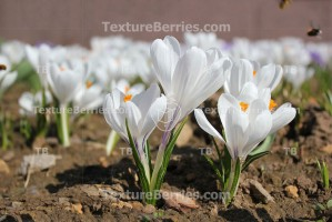 Group of white crocuses in spring time