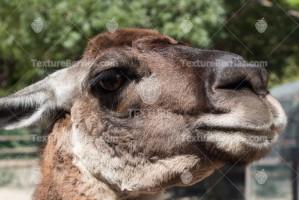 Lama Guanaco, close up, big eyes and long eyelashes
