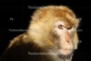 Monkey on black background