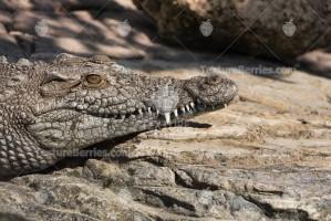 Nile crocodile or alligator keeps warm on the stones