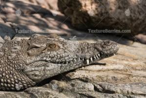 Nile crocodile or alligator lies on the warm stones