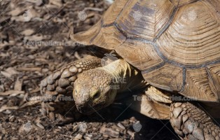 Old giant tortoise on mulch background