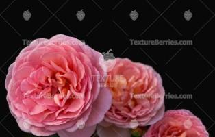 Pink wild roses on black background, dogroses