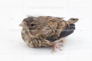 Song thrush nestling, little bird isolated on white background