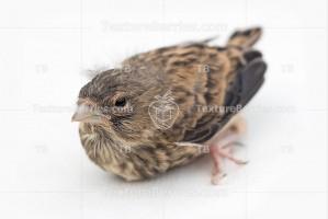 Song thrush nestling, little bird on white background