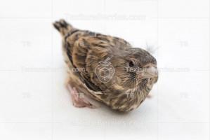 Song thrush nestling, little bird on white