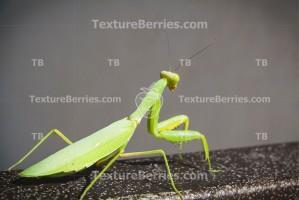 The European mantis in the city, Mantis religiosa