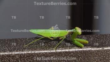 The European mantis on metal beam