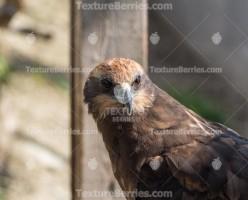 Western marsh harrier, hawk close-up