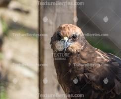 Western marsh harrier, hawk looking into the camera