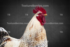 White rooster on gray background