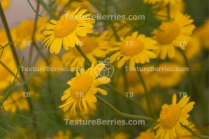 Yellow camomiles background