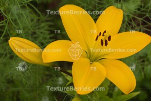 Yellow lily on dark green background